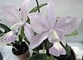 卡特蘭屬 Cattleya walkeriana x nobilior -香港沙田洋蘭展 Shatin Orchid Show, Hong Kong- (9200883562).jpg