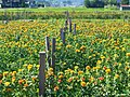 夏を彩るベニバナ(Field of Safflower in Yamagata) 12 Jul, 2015 - panoramio.jpg