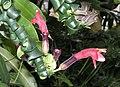 捲葉口紅花 Aeschynanthus Twister -香港公園 Hong Kong Park- (9207617202).jpg