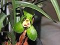 春蘭大富貴爪 Cymbidium goeringii 'Great Riches & Honours Claw' -香港沙田國蘭展 Shatin Orchid Show, Hong Kong- (12304390334).jpg