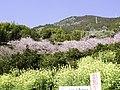 桑田山雪割り桜.jpg