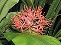火球花屬 Scadoxus cinnabarinus -倫敦植物園 Kew Gardens, London- (9204818589).jpg