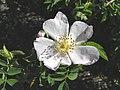 犬薔薇 Rosa canina -英格蘭 Woking, England- (9229894346).jpg