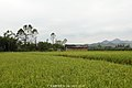 稻田和农舍 rice and hut - panoramio.jpg