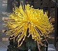 菊花-古鼎金環 Chrysanthemum morifolium 'Ancient Tripod Golden Ring' -中山小欖菊花會 Xiaolan Chrysanthemum Show, China- (11961173475).jpg