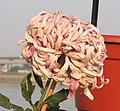 菊花-彩胡之星 Chrysanthemum morifolium 'Star' -中山小欖菊花會 Xiaolan Chrysanthemum Show, China- (11961169815).jpg