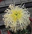 菊花-綠窗紗影 Chrysanthemum morifolium 'Shadow on Green WIndow Screen' -中山小欖菊花會 Xiaolan Chrysanthemum Show, China- (12049302565).jpg
