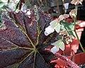 蓖麻葉秋海棠 Begonia x ricinifolia -波蘭 Krakow Jagiellonian University Botanic Garden, Poland- (36338146530).jpg