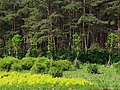 赤松林 Red Pine Grove - panoramio.jpg