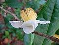 鐵觀音茶 Camellia sinensis 'Tieguanyin' -香港公園 Hong Kong Park- (24667153627).jpg