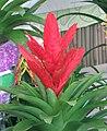 鶯歌鳳梨 Vriesea carinata Kallisto -香港花展 Hong Kong Flower Show- (9204858623).jpg