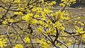 이천 산수유 나무 꽃.jpg