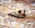 -1175- Notocelia uddmanniana (43348989941).jpg