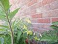 -2018-07-13 Flowers on Varity 'Sub Arctic Plenty' Tomato Plants, Trimingham.JPG