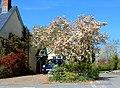 -2021-04-25 Magnificent magnolia, Leintwardine, Herefordshire.jpg