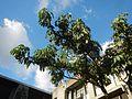 01004jfAquinas School F. Blumentritt Kabayanan Tibagan Church Acacia Tree San Juan Cityfvf 24.jpg