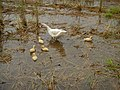 0298jfLands Culianin Ducks Plaridel Bulacan Cattle Fieldsfvf 16.JPG