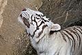 08-2011. Panthera tigris tigris - Texas Park - Lanzarote -TP03.jpg