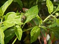 0998Ornamental plants in the Philippines 32.jpg