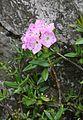 1805b-Kalmiopsis leachiana-Sedloňov-5.16.JPG