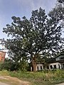 180 -літній велетень на околицях Полтави.jpg