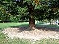 1989 memorial Sequoia sempervirens 03.jpg