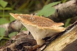 2009-05-12 Polyporus tuberaster (Jacq.) Fr 43277.jpg