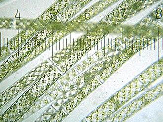 Spirogyra - Image: 20090523 213732 Spirogyra