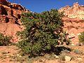 2013-09-23 14 33 04 Pinus edulis along Capitol Reef Scenic Drive 7.1 miles from Utah State Route 24.JPG