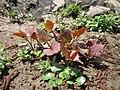 20130417Reynoutria japonica3.jpg