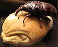 2013 Naturkundemuseum sitophilus granarius anagoria.JPG