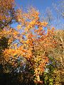 2014-11-02 15 55 54 Red Maple during autumn along Terrace Boulevard in Ewing, New Jersey.JPG