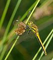 2014.07.17.-32-Zadlitzgraben Pressel--Schwarze Heidelibelle-Weibchen.jpg