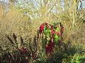 20141108Amaranthus caudatus1.jpg