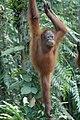 2014 Borneo Luyten-De-Hauwere-Bornean orangutan-03.jpg