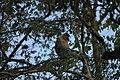 2014 Borneo Luyten-De-Hauwere-Proboscis monkey-02.jpg