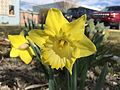 2015-03-31 10 25 46 Yellow daffodil along Idaho Street (Interstate 80 Business) in Elko, Nevada.JPG