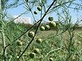 20150830Asparagus officinalis1.jpg