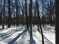 2016-01-31 13 26 58 A snowy woodland eight days after the Blizzard of 2016 in the Franklin Farm section of Oak Hill, Fairfax County, Virginia.jpg