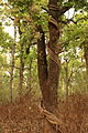 2016-04-05 Chitwan National Park Bufferzone, Nepal. Trees and Vines 5989.jpg