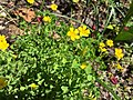 2016-04-20 12 11 57 Common wood sorrel blooming along Tranquility Court in the Franklin Farm section of Oak Hill, Fairfax County, Virginia.jpg