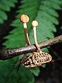2016-05-28 Ophiocordyceps blattarioides T. Sanjuan & J.W. Spatafora 690737.jpg
