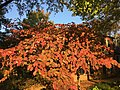 2016-10-21 08 27 15 Autumn foliage coloration on a flowering dogwood located on the northwest side of the Chevy Chase Circle in Chevy Chase Village, Montgomery County, Maryland.jpg