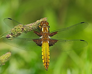 Broad-bodied chaser - Libellula depressa, young male.