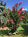 2017-07-25 10 12 11 Crape Myrtle in full bloom along Tranquility Court in the Franklin Farm section of Oak Hill, Fairfax County, Virginia.jpg
