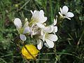 20170509Saxifraga granulata2.jpg
