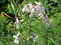 20170807Saponaria officinalis1.jpg