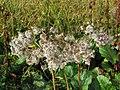 2018-08-29 (112) Unidentified Asteraceae (aster) at Rax, Austria.jpg