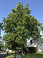 2020-07-25 08 38 57 American Sycamore in mid-summer along Tranquility Lane in the Franklin Farm section of Oak Hill, Fairfax County, Virginia.jpg