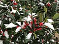 2020-12-16 11 50 04 Holly leaves and berries coated in snow at the Franklin Farm Village Shopping Center in the Franklin Farm section of Oak Hill, Fairfax County, Virginia.jpg